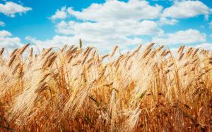 Egy évtizede nem látott szintre emelkedtek a globális élelmiszerárak